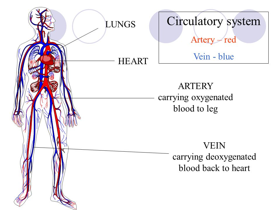 Blood Flow Through the Body - Lumen Learning