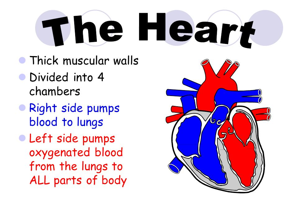 The Heart Thick muscular walls Divided into 4 chambers