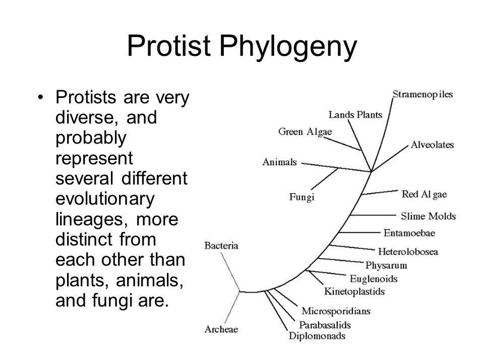Protist Phylogeny