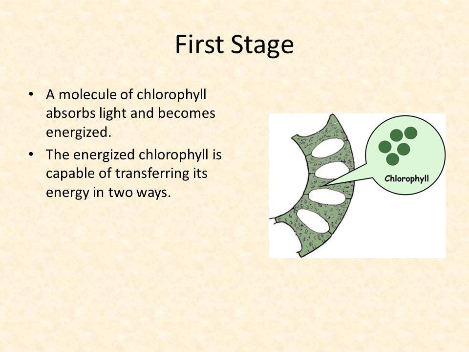 First Stage A molecule of chlorophyll absorbs light and becomes energized.