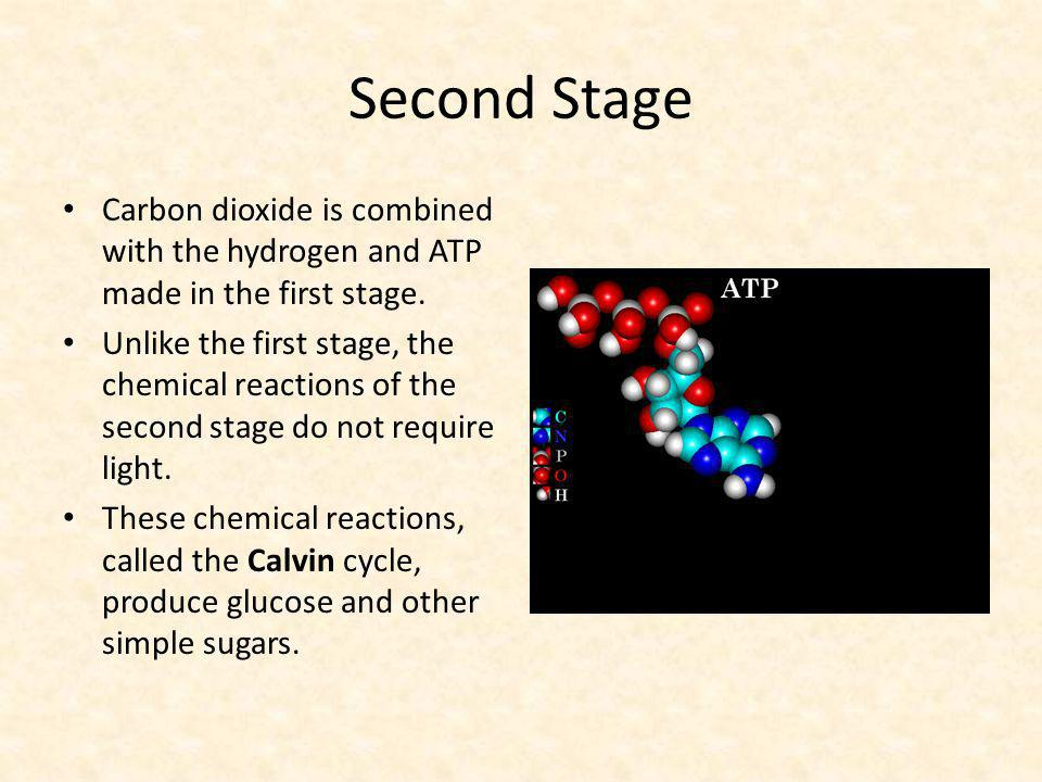 Second Stage Carbon dioxide is combined with the hydrogen and ATP made in the first stage.