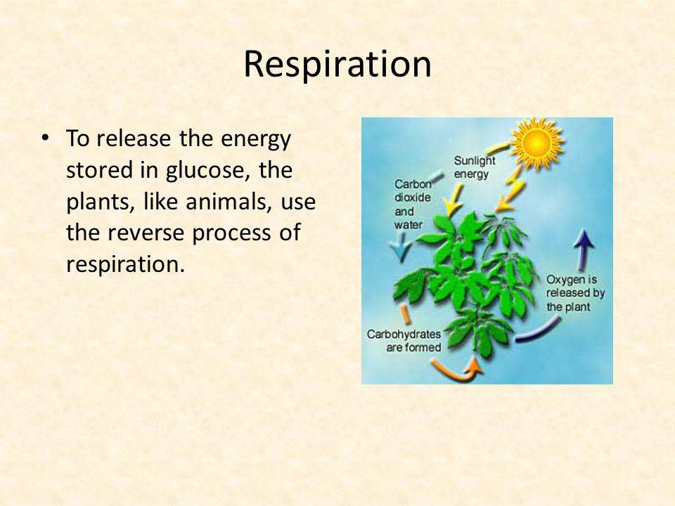 Respiration To release the energy stored in glucose, the plants, like animals, use the reverse process of respiration.