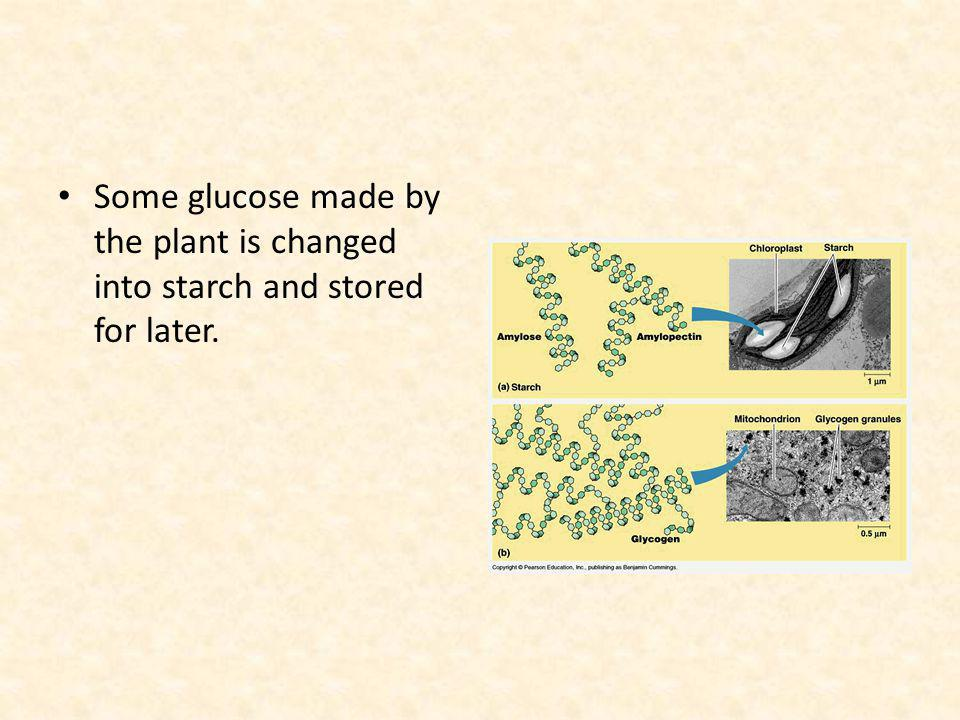 Some glucose made by the plant is changed into starch and stored for later.