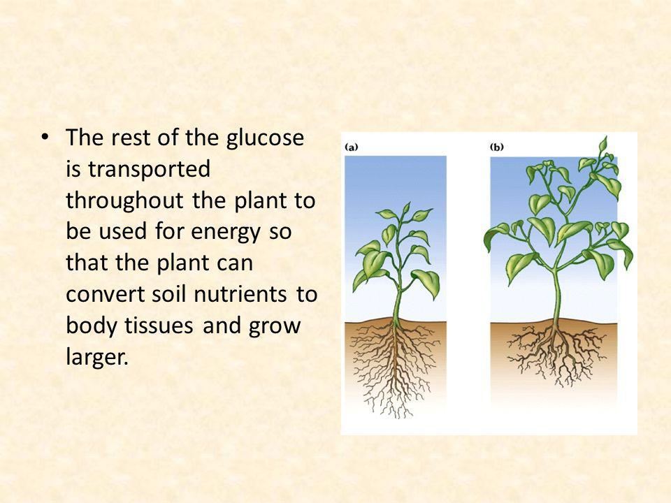 The rest of the glucose is transported throughout the plant to be used for energy so that the plant can convert soil nutrients to body tissues and grow larger.