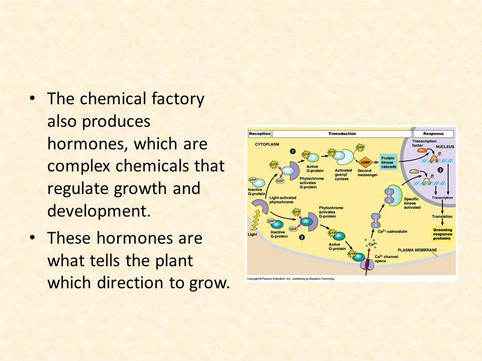 The chemical factory also produces hormones, which are complex chemicals that regulate growth and development.
