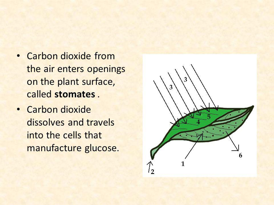 Carbon dioxide from the air enters openings on the plant surface, called stomates .