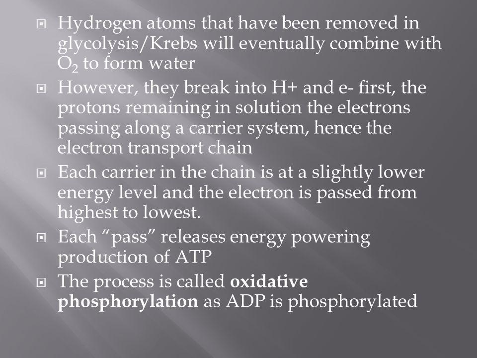 Hydrogen atoms that have been removed in glycolysis/Krebs will eventually combine with O2 to form water