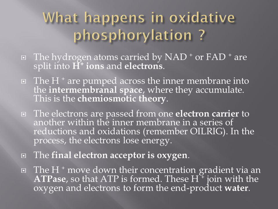 What happens in oxidative phosphorylation