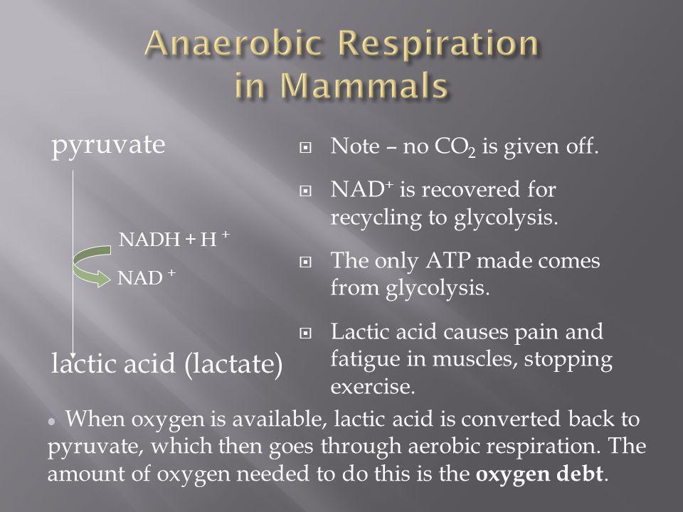 Anaerobic Respiration in Mammals