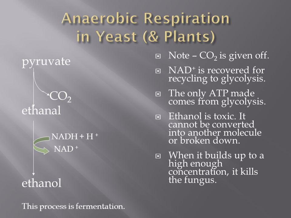 Anaerobic Respiration in Yeast (& Plants)