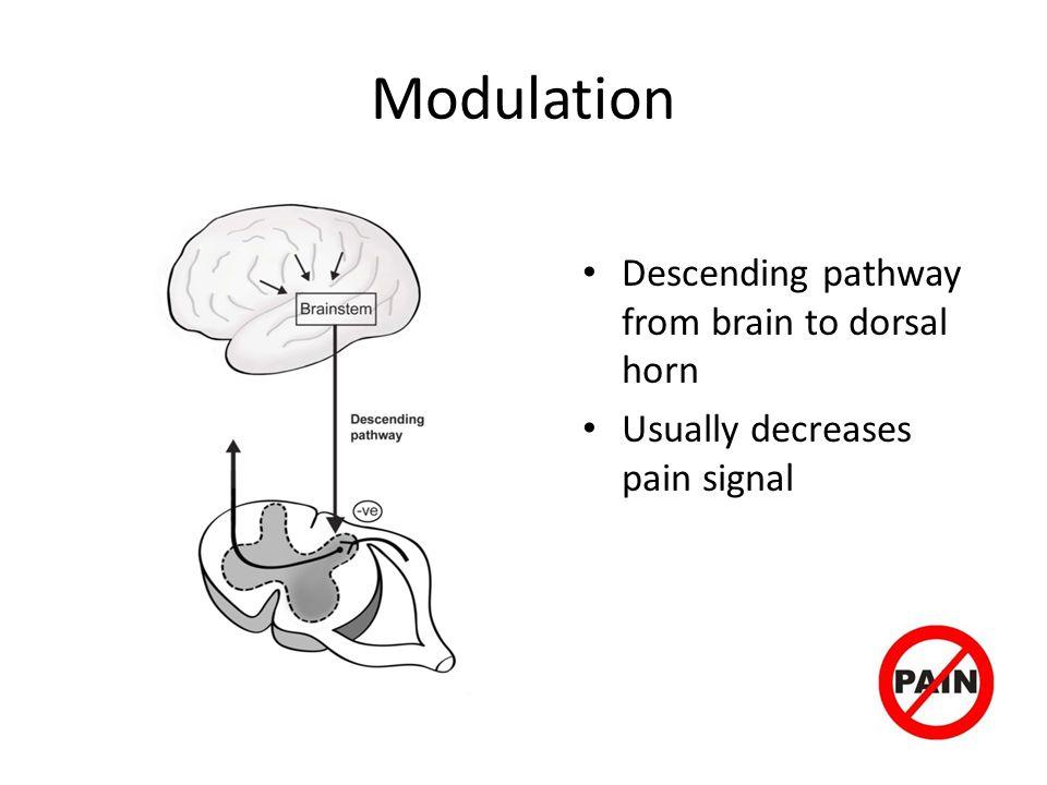 Modulation Descending pathway from brain to dorsal horn
