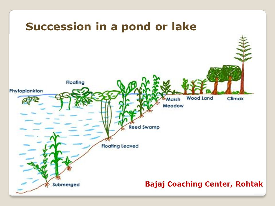 Succession in a pond or lake