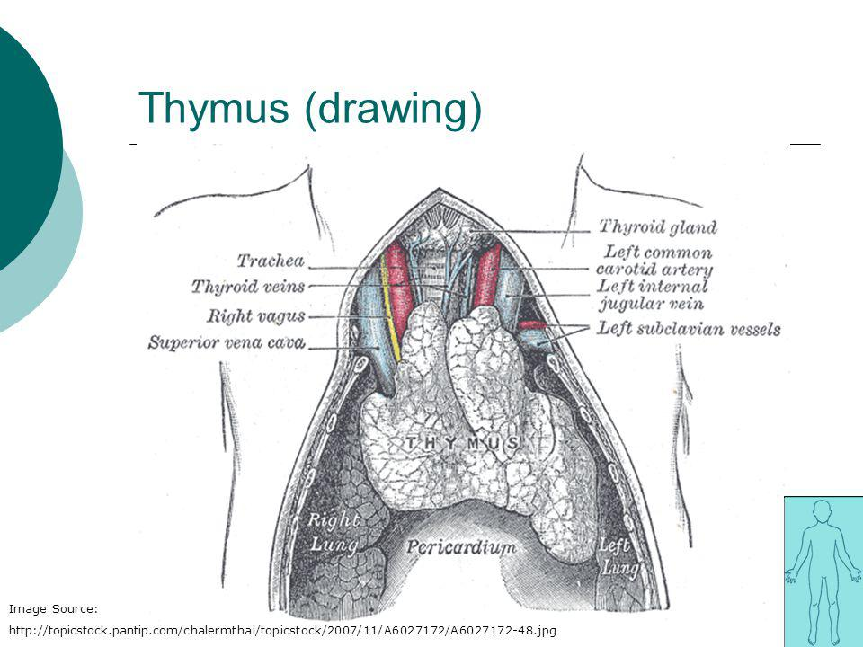 Thymus (drawing) Image Source: