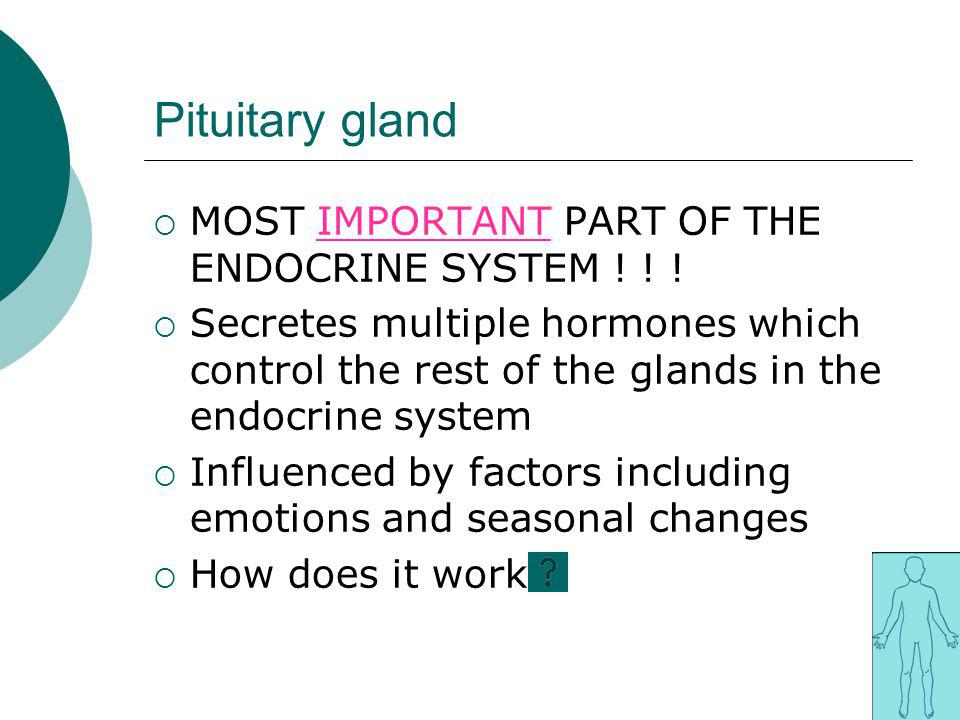Pituitary gland MOST IMPORTANT PART OF THE ENDOCRINE SYSTEM ! ! !