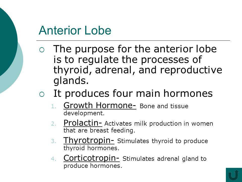 Anterior Lobe The purpose for the anterior lobe is to regulate the processes of thyroid, adrenal, and reproductive glands.