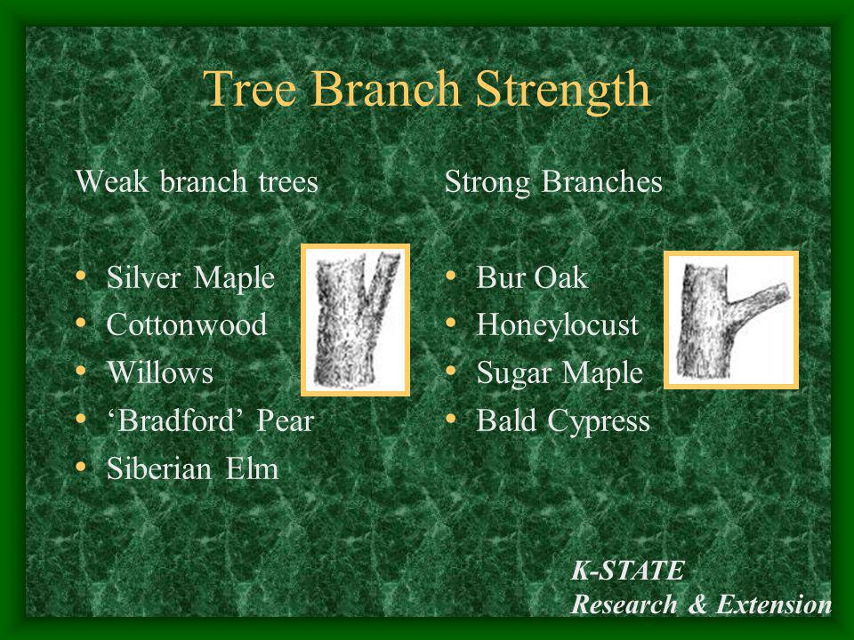 Tree Branch Strength Weak branch trees Silver Maple Cottonwood Willows