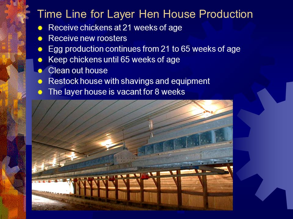 Time Line for Layer Hen House Production
