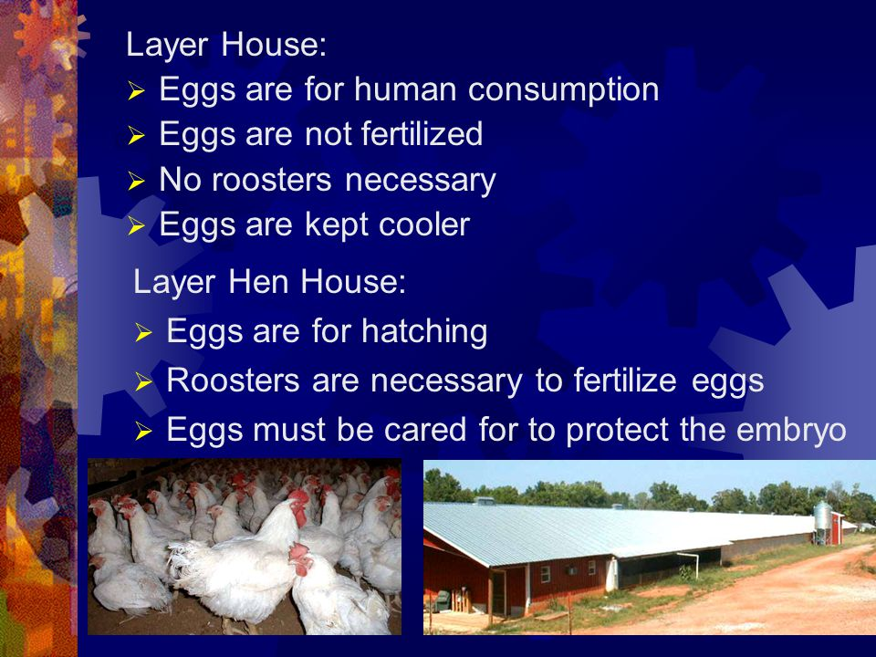 Eggs are for human consumption Eggs are not fertilized