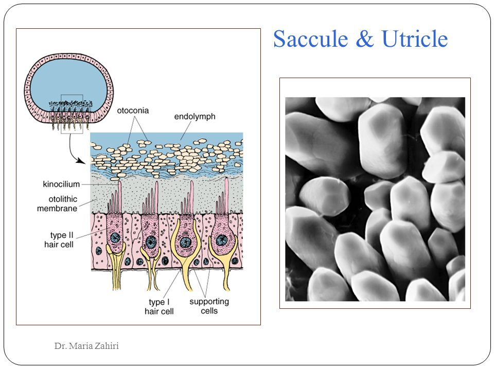 Saccule & Utricle Dr. Maria Zahiri
