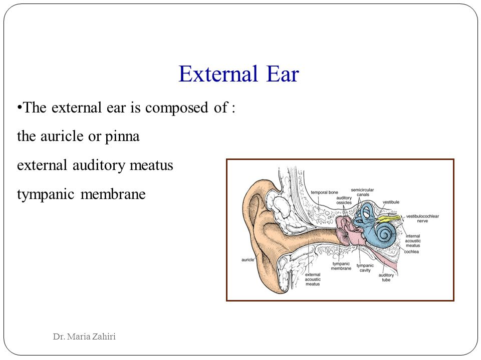 External Ear The external ear is composed of : the auricle or pinna