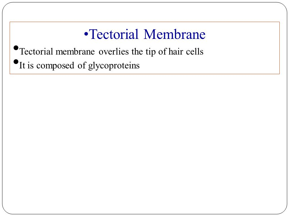 Tectorial Membrane Tectorial membrane overlies the tip of hair cells