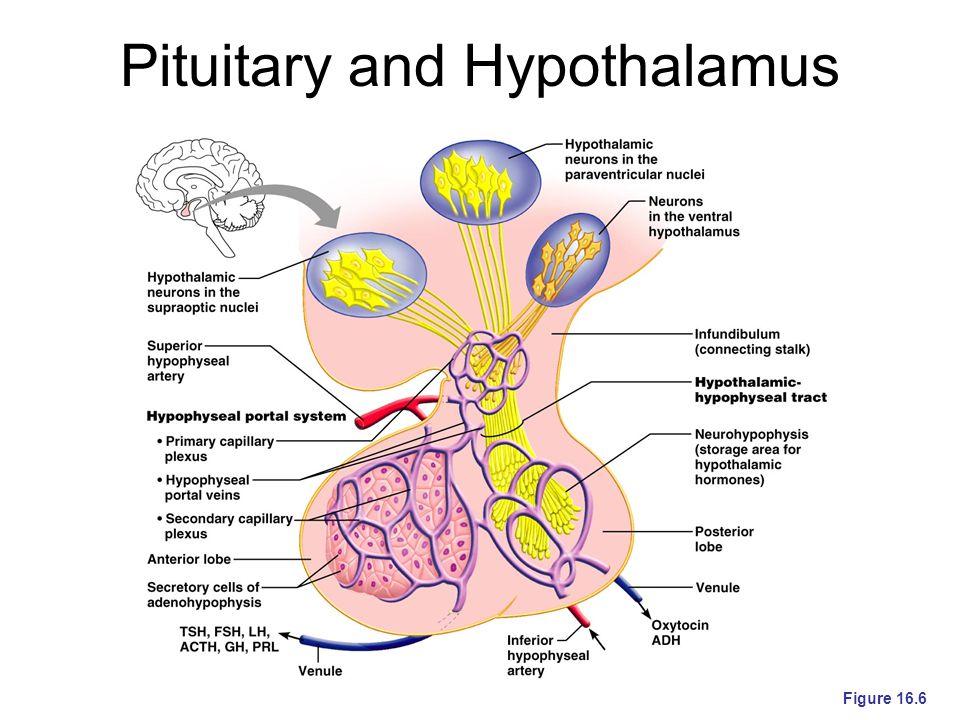 Pituitary and Hypothalamus