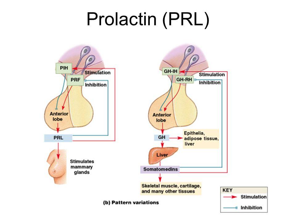 Prolactin (PRL) Figure 18–8b