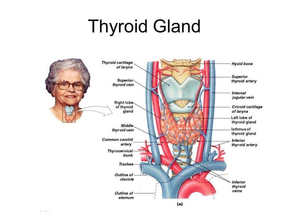 Thyroid Gland Figure 18–10a, b