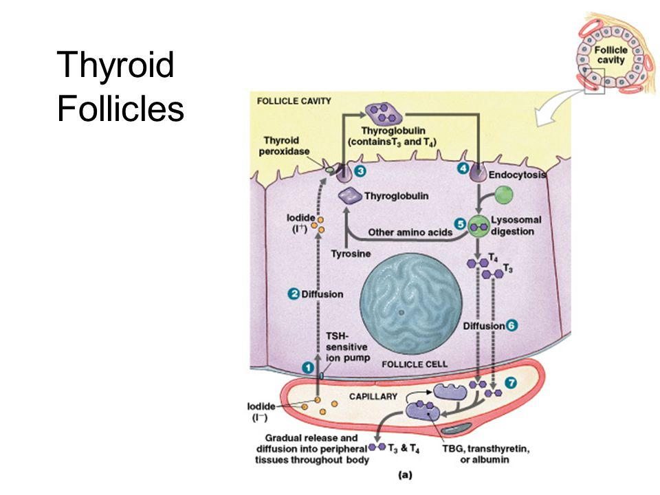 Thyroid Follicles Figure 18–11a, b