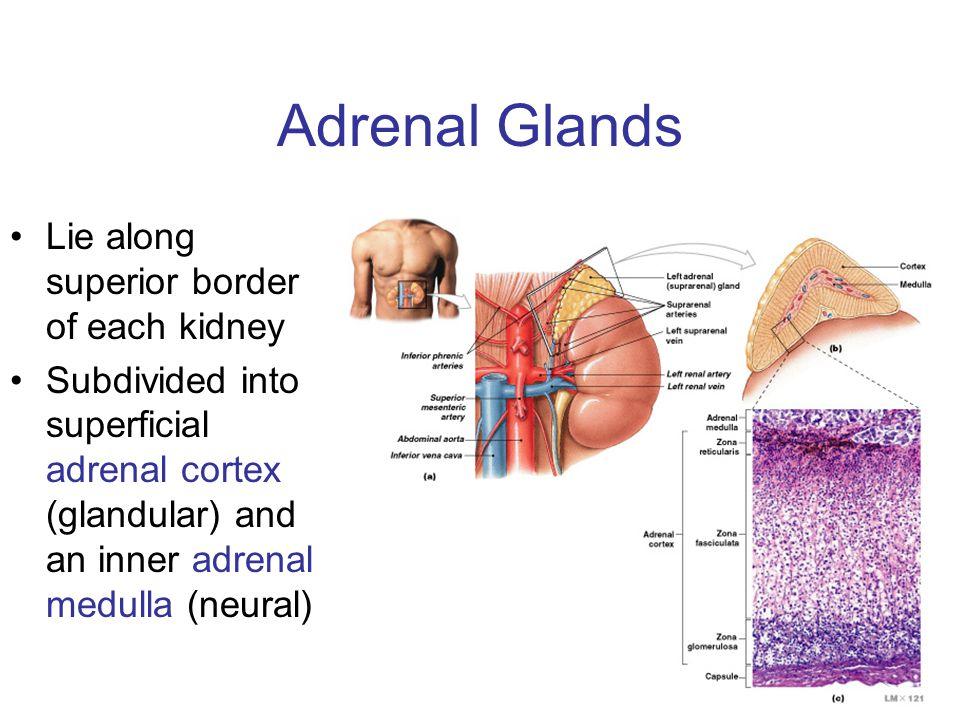Adrenal Glands Lie along superior border of each kidney