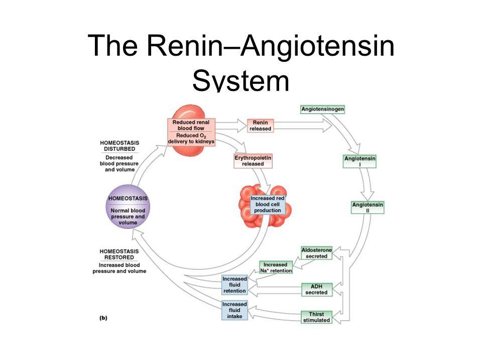 The Renin–Angiotensin System