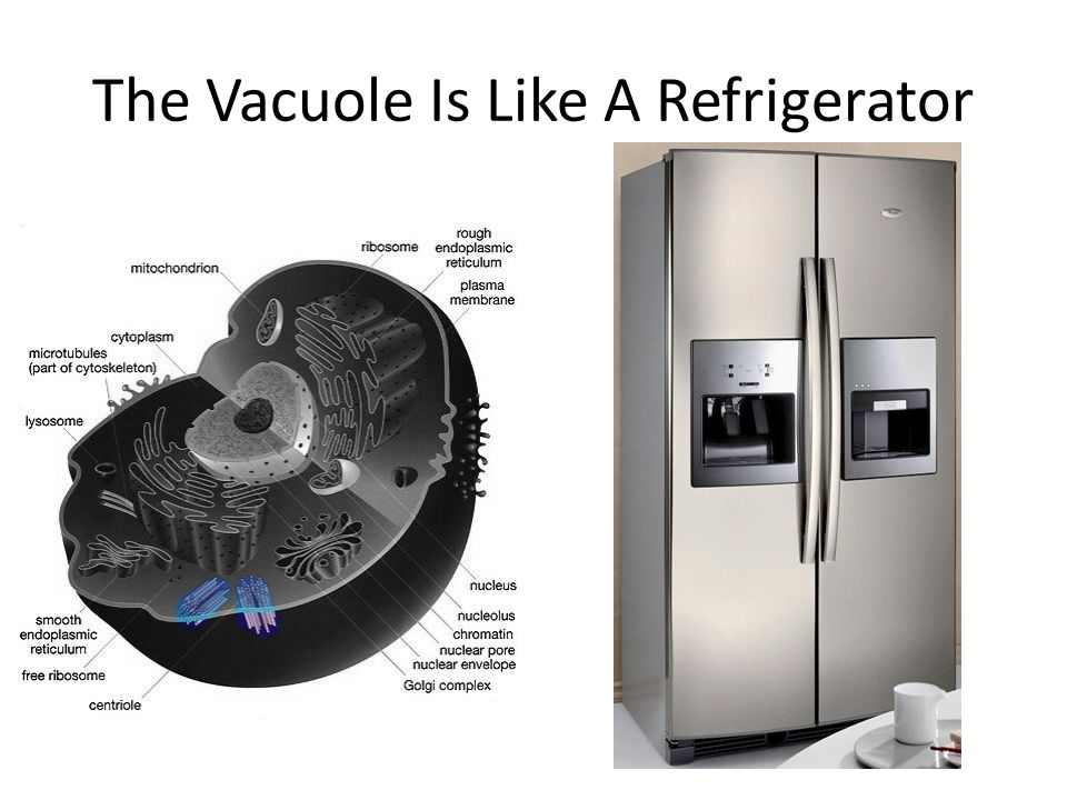 The Vacuole Is Like A Refrigerator