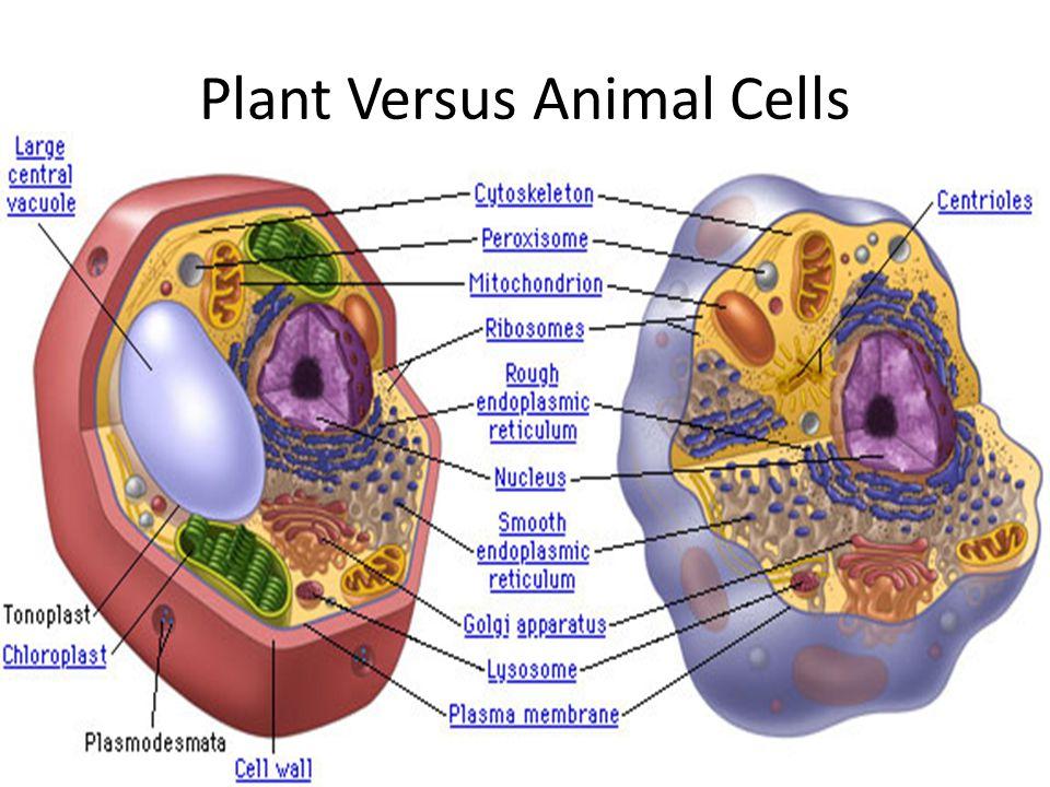 Plant Versus Animal Cells