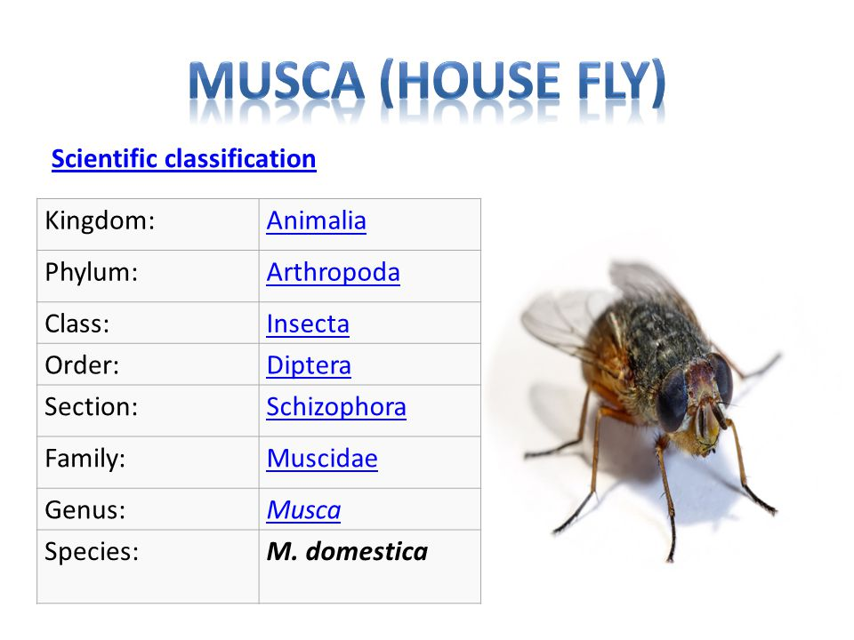 Musca (house fly) Scientific classification Kingdom: Animalia Phylum: