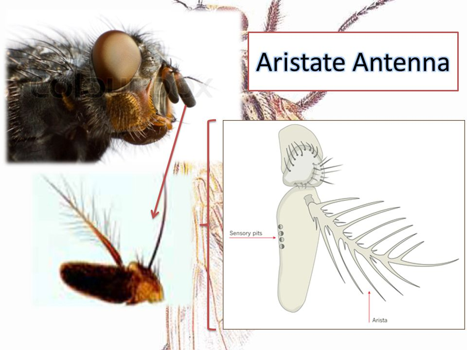 Aristate Antenna