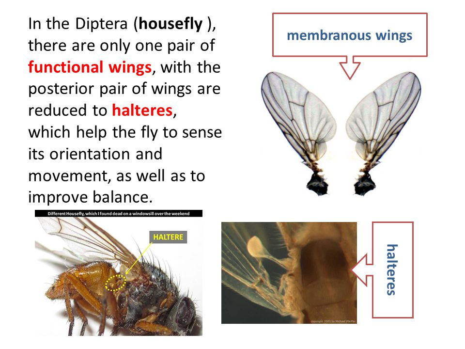 In the Diptera (housefly ), there are only one pair of functional wings, with the posterior pair of wings are reduced to halteres, which help the fly to sense its orientation and movement, as well as to improve balance.