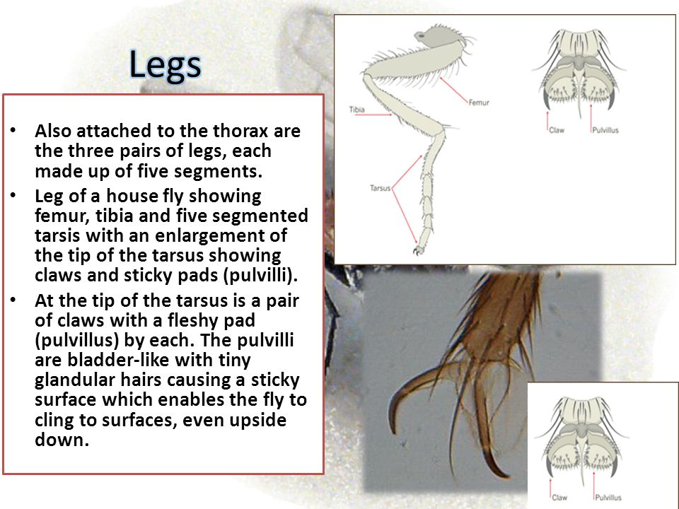 Legs Also attached to the thorax are the three pairs of legs, each made up of five segments.