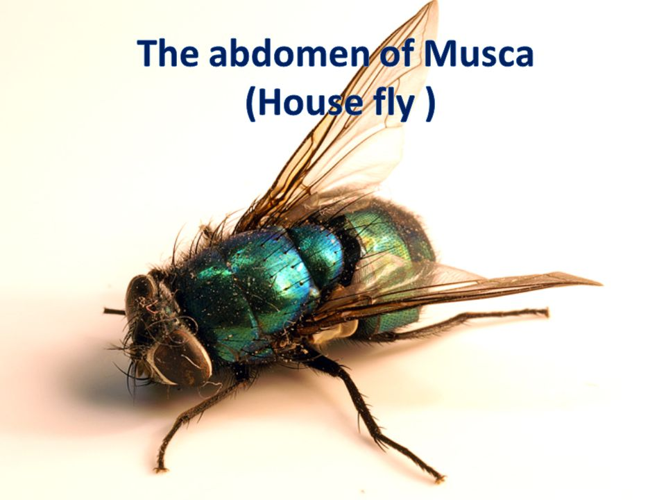The abdomen of Musca (House fly )