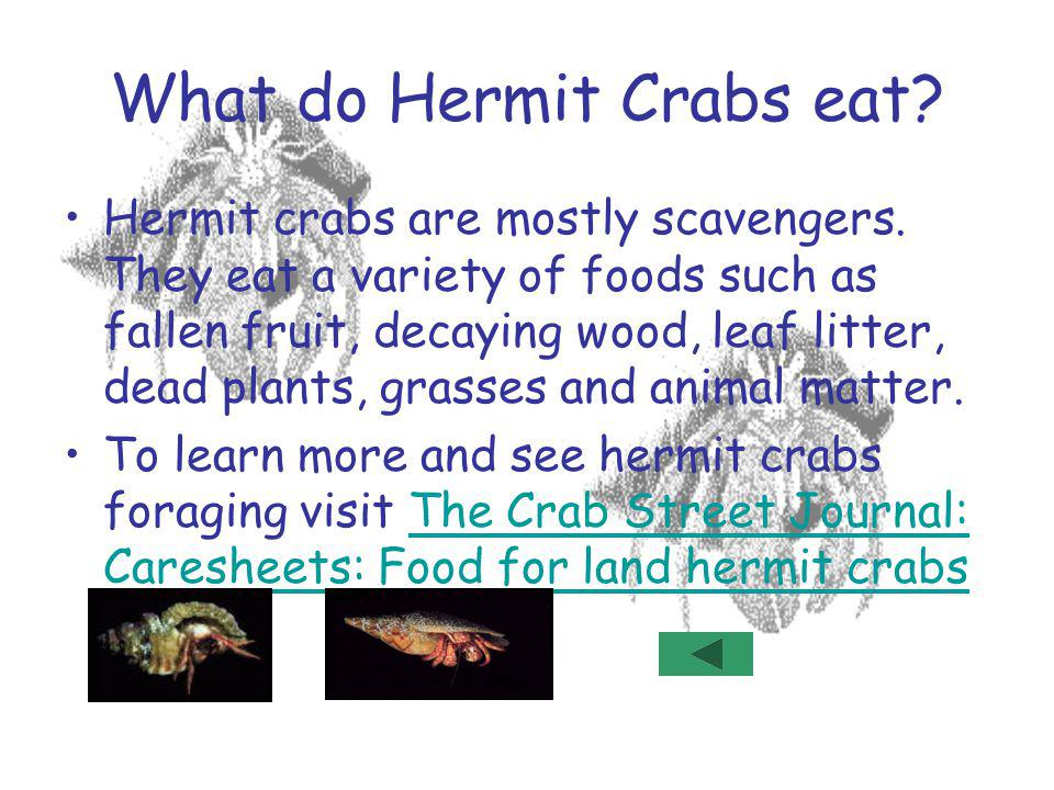 What do Hermit Crabs eat
