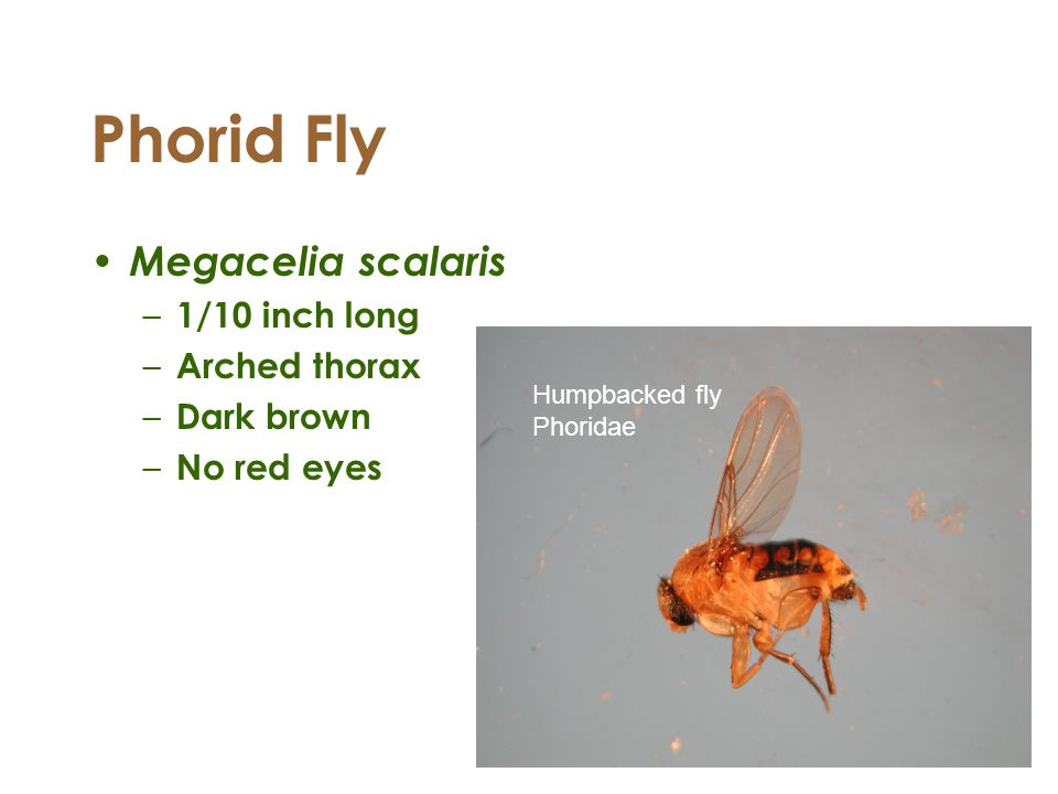 Phorid Fly Megacelia scalaris 1/10 inch long Arched thorax Dark brown
