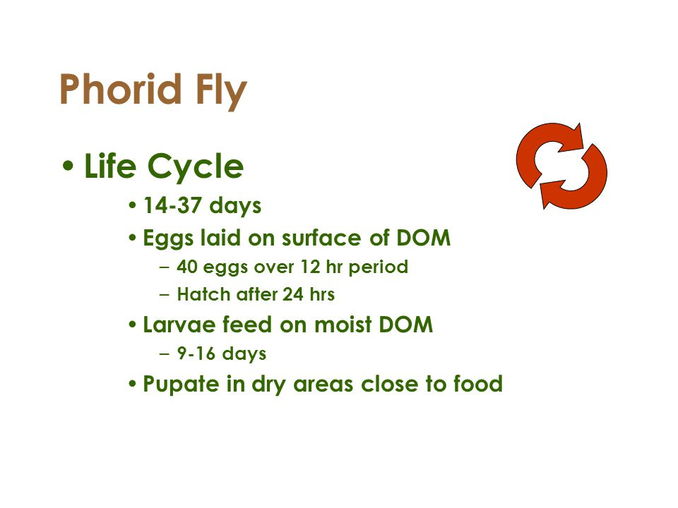 Phorid Fly Life Cycle 14-37 days Eggs laid on surface of DOM