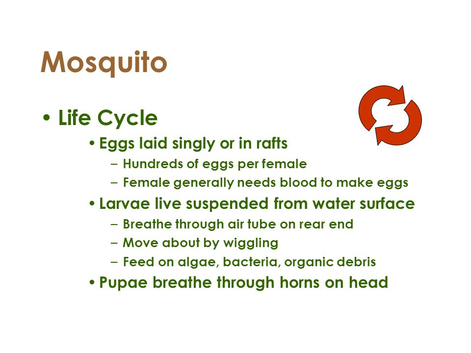 Mosquito Life Cycle Eggs laid singly or in rafts