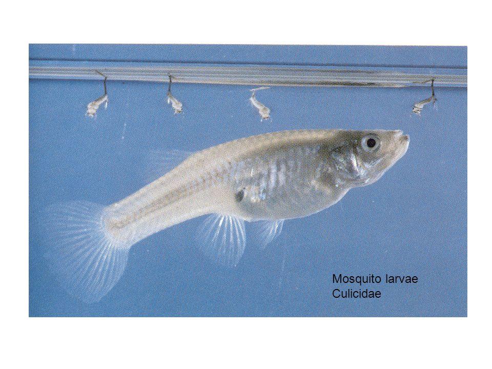 Mosquito larvae Culicidae