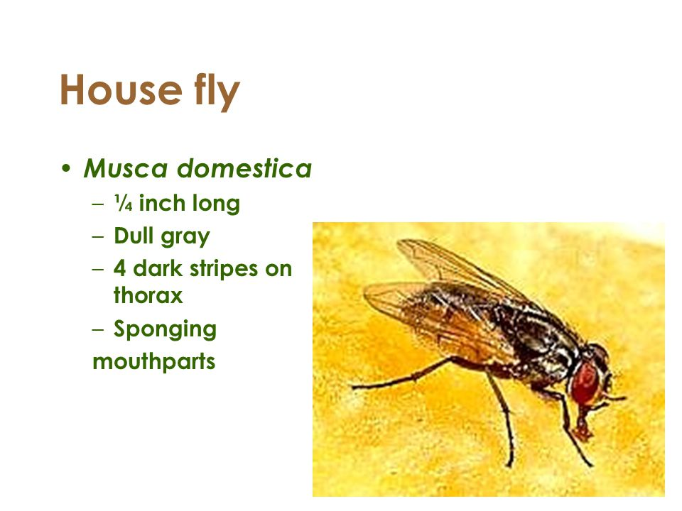 House fly Musca domestica ¼ inch long Dull gray