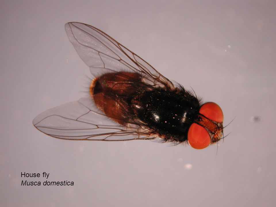 House fly Musca domestica
