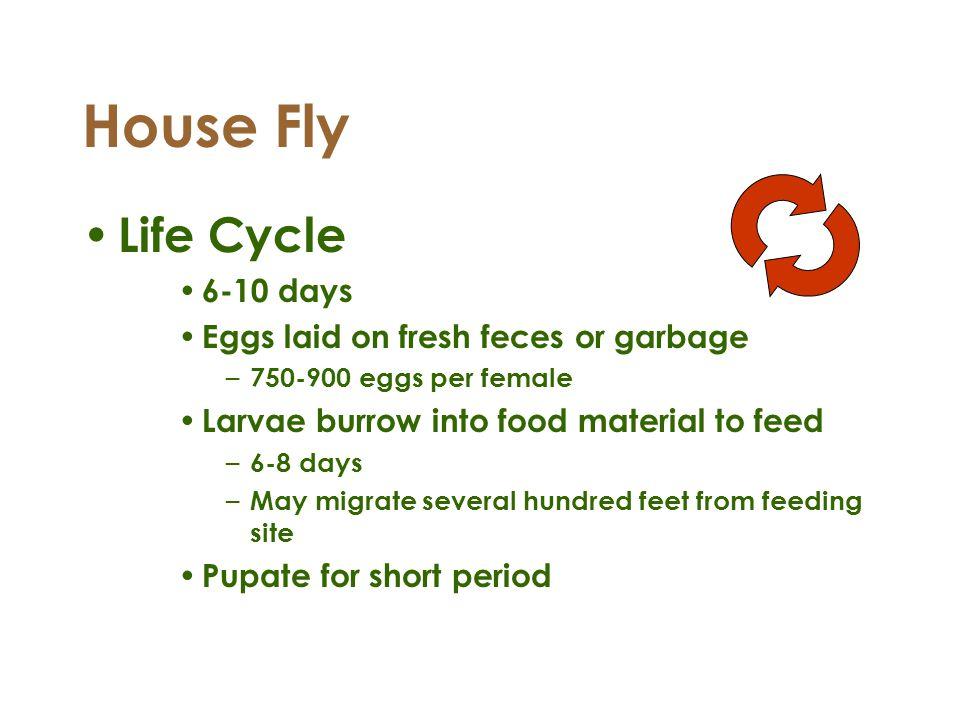 House Fly Life Cycle 6-10 days Eggs laid on fresh feces or garbage