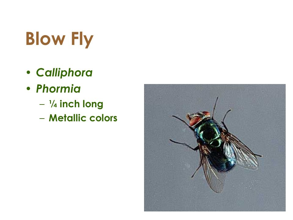 Blow Fly Calliphora Phormia ¼ inch long Metallic colors