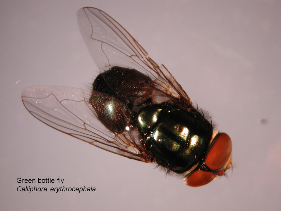 Green bottle fly Calliphora erythrocephala