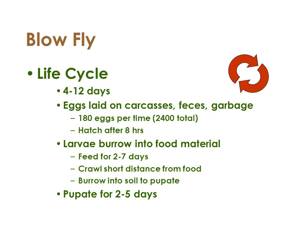 Blow Fly Life Cycle 4-12 days Eggs laid on carcasses, feces, garbage