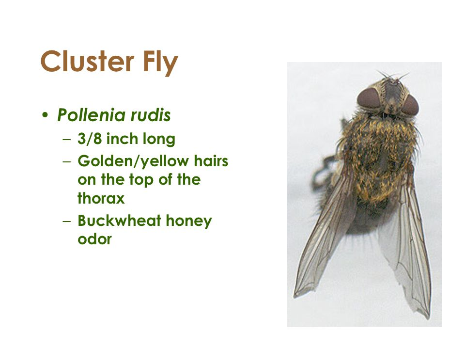 Cluster Fly Pollenia rudis 3/8 inch long